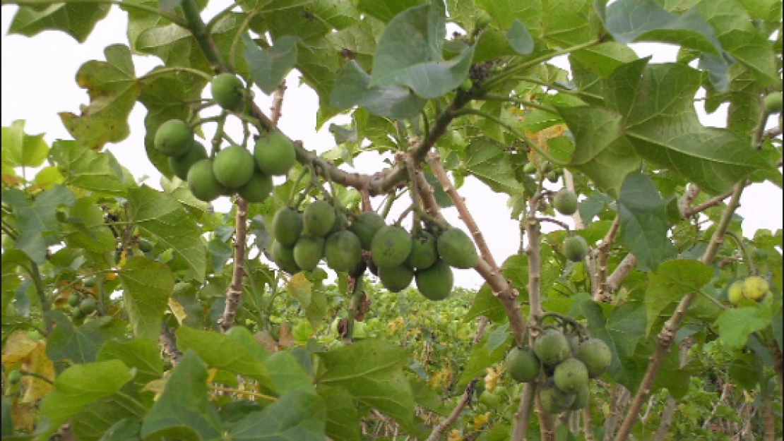 The Jatropha plant is best energy alternative for Egypt according to the students' research. Photo credit: Prof Chen Fang et al, June 24,2008